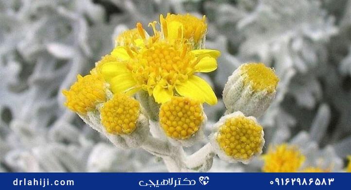 افسطین برای درمان گیاهی سرطان پروستات